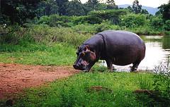 Hippo_CC_Caitlin_small